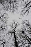 Lonely bird flying among winter trees Royalty Free Stock Photography