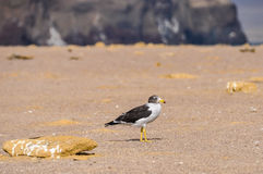 Lonely bird in the Paracas National Reserve, Peru Stock Image