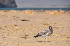 Lonely bird in the Paracas National Reserve, Peru Stock Photo