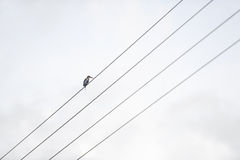 The lonely bird. Sits on a power line Stock Images
