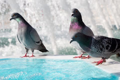 Lonely birds by the fountain lives in urban environment Royalty Free Stock Images