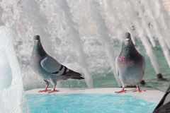 Lonely birds by the fountain lives in urban environment Royalty Free Stock Photo