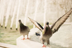 Lonely birds by the fountain lives in urban environment Stock Photos