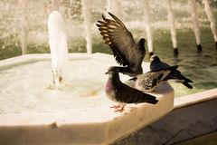 Lonely birds by the fountain lives in urban environment Stock Image