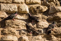 Lonely birds by live in urban environment Royalty Free Stock Photo
