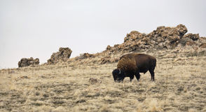 Lonely Bison. A single bison in an open field. Antelope Island, Utah Royalty Free Stock Photos