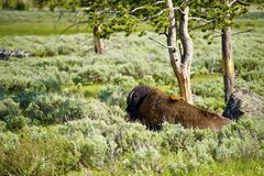 Lonely Bison Stock Photos