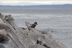 Lonely black bird on the old dried up log in view of the Strait of Magellan at cloudy rainy day. Patagonia, Chile. stock photos