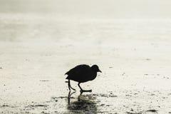 Lonely black bird Royalty Free Stock Photo