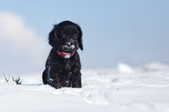 Lonely cocker spaniel puppy sits in the snow. Lonely black cocker spaniel puppy sits lonely in the snow royalty free stock images