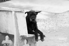 Lonely Black Dog (Look straight). Lonely black dog with sad eyes is waiting someone on chair stock photo