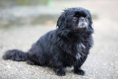 Lonely black dog in the rain Royalty Free Stock Photos