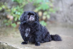 Lonely black dog in the rain Royalty Free Stock Photo