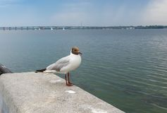 Black-headed gull standing on a parapet on a Dnipro river embankment in center of Dnipro city, Ukraine Stock Photography