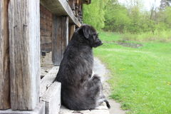 Lonely black old dog sitting near ancient wooden house. In spring. The dog looks to have no owner, survived the cold winter and now should be happy to catch Royalty Free Stock Photo