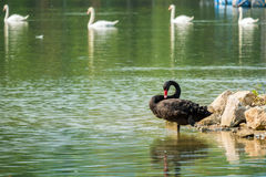 Lonely black swan in the green lake Royalty Free Stock Photo