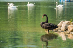 Lonely black swan in the green lake Royalty Free Stock Image
