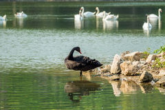 Lonely black swan in the green lake Royalty Free Stock Images