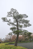 Lonely Bleak Pine Tree Stock Photos