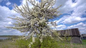 A lonely blooming apple tree on light spring wind in a countryside. stock video