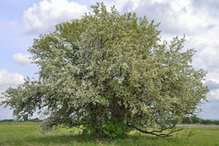 Lonely blooming apple tree on the meadow Stock Images