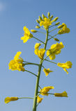 Lonely blooming oilseed rape Stock Photography