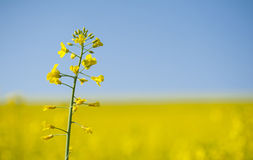 Lonely blooming oilseed rape on yellow canola field background Stock Photos