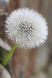 Lonely blossomed dandelion. With bokeh Royalty Free Stock Photo