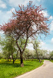 Lonely blossoming apple tree Stock Photos