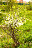 Lonely blossoming cherry tree close up Royalty Free Stock Images