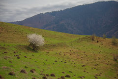 Lonely blossoming tree against the backdrop of the mountains Royalty Free Stock Photos