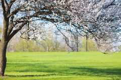 Lonely blossoming tree in  field Royalty Free Stock Images