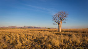 Lonely Boab Tree. Isolated road tree on the grass flood plains of the Pentecoste River near Home Valley Station on the Gibb River Road, in the isolated and stock image