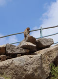 Lonely bonnet Macaque eats food on the hill rocks Royalty Free Stock Images