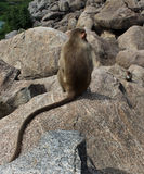 Lonely bonnet Macaque on the hill rocks Royalty Free Stock Photo