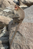 Lonely bonnet Macaque Stock Photo