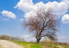 Lonely branchy apricot tree beside roadside Stock Photo