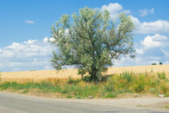 Lonely branchy silverberry tree Royalty Free Stock Photos