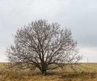 Lonely branchy walnut tree on an edge of agricultural field Royalty Free Stock Photography
