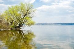 Lonely branchy willow tree beside a big river Stock Image