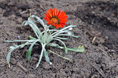 Lonely bright flower. Lonely bright adorable flower growing out of the earth royalty free stock photography