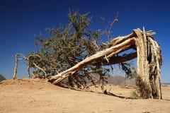 Lonely broken tree in Sahara desert - Niger. Broken but still alive tree in the middle of Sahara desert Royalty Free Stock Images