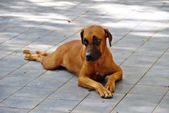 Lonely brown dog. Brown dog expresses lonely feeling while laying on the blue floor Royalty Free Stock Images