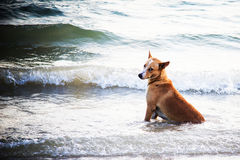 Lonely brown dog sitting in sea on the beach. Royalty Free Stock Photo