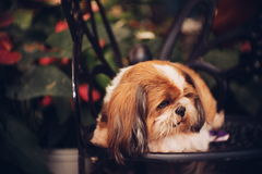 Lonely brown dog sleeping on the chair. In dark tone, selective focus Stock Images