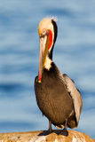 Lonely brown pelican Stock Photos