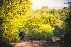A lonely buffalo stands in the middle of a dirt road in Udawalawe national park, Sri Lanka. royalty free stock photo