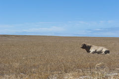 Lonely Bull on barren field Stock Images