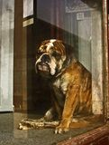 Lonely Bull Dog In A Window Stock Photos