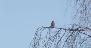 Lonely bullfinch on a tree branch.  stock video